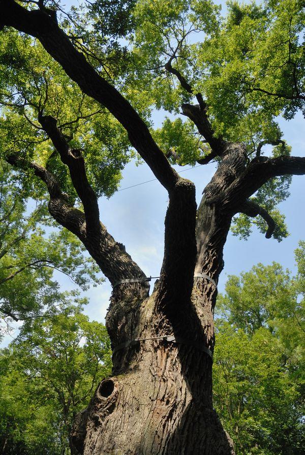 Oldřichův dub v Peruci | Památný strom